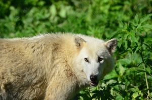 Image of a white wolf