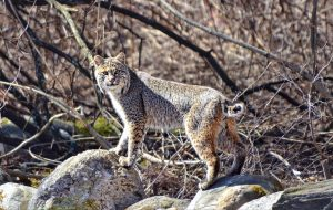 Image of a bobcat on a stone wall