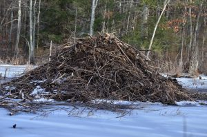 Image of a beaver hut on ice and snow